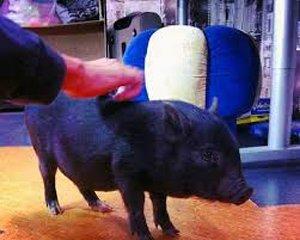 свинья на дом 2